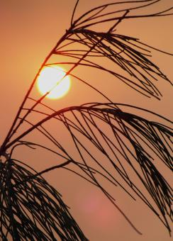 Free Stock Photo of Grassy Plant  Sunset Silhouette