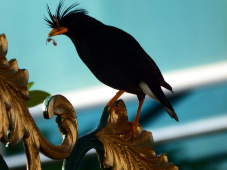 Free Stock Photo of Black Crested Bird