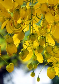 Free Stock Photo of Tropical Yellow Blossom Tree