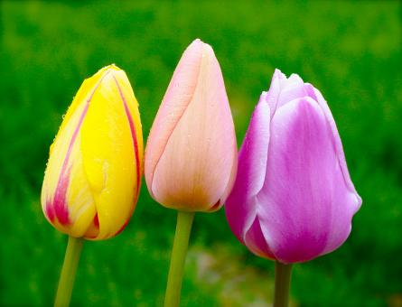 Free Stock Photo of Three Colorful Tulips
