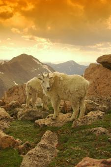Free Stock Photo of Mountain Goats Frolicking at Mountain Su
