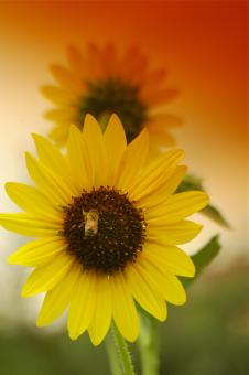 Free Stock Photo of Bee on a Sunflower