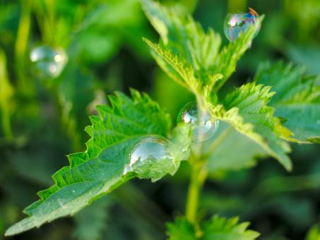 Free Stock Photo of Soap bubbles on nettle leaves