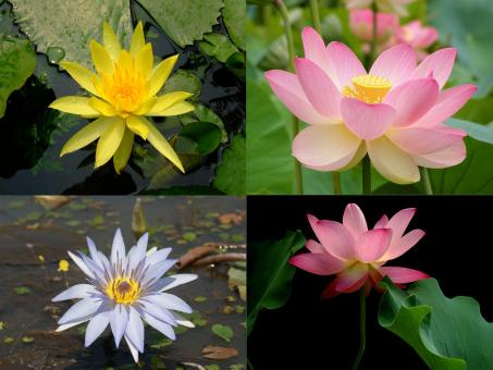 Free Stock Photo of Lotus flowers