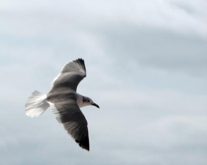 Free Stock Photo of Close-up of a seagull flying