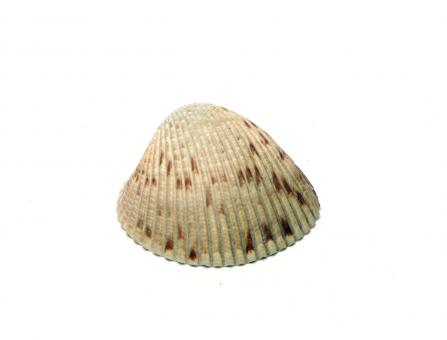 Free Stock Photo of A sea shell isolated on white