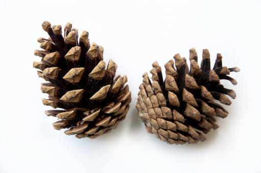 Free Stock Photo of two pine cones isolated on white