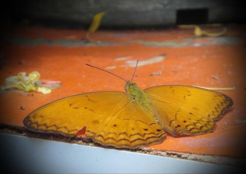 Free Stock Photo of Orange Butterfly