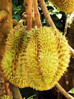 Free Stock Photo of Durian Fruit Tree