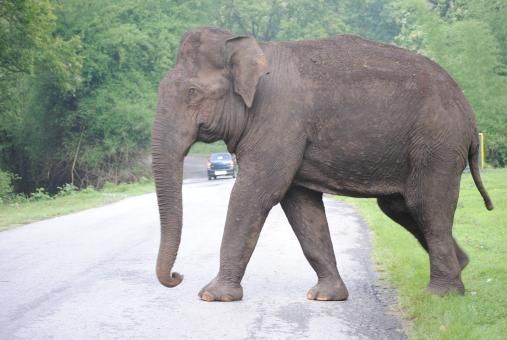 Free Stock Photo of Single giant elephant walking on a road