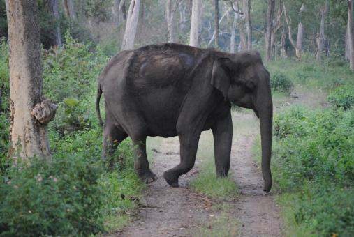Free Stock Photo of Large indian elephant cross the road