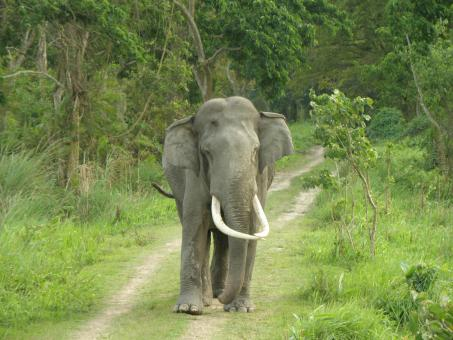 Free Stock Photo of Large tusk elephant in jungle road