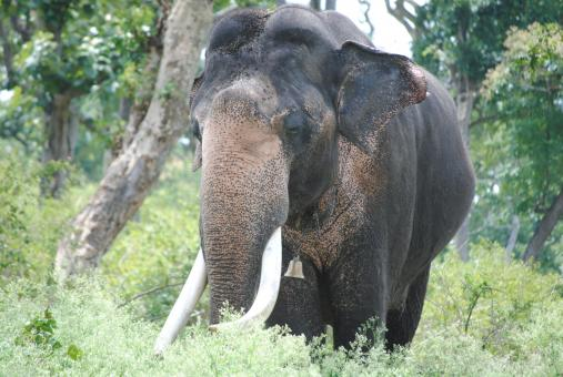 Free Stock Photo of Gigantic elephant in Kaziranga forest