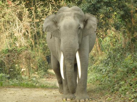 Free Stock Photo of Gigantic tusker elephant of  Kaziranga