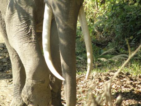 Free Stock Photo of Kaziranga tusker
