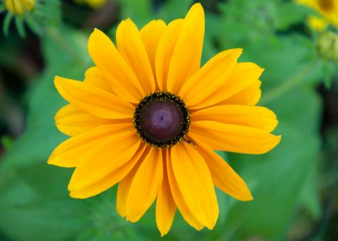 Free Stock Photo of Black-eyed susan flower