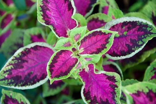 Free Stock Photo of Purple and green coleus plant