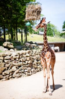 Free Stock Photo of Giraffes in the zoo