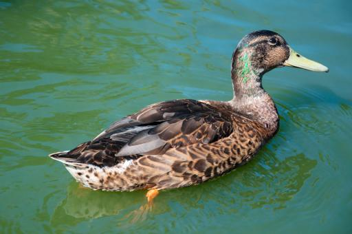 Free Stock Photo of Female duck on water