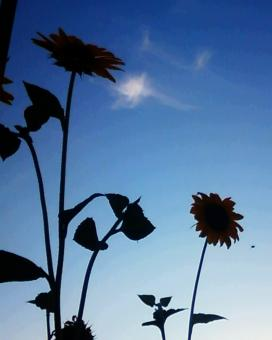 Free Stock Photo of Sunflower Silhouettes