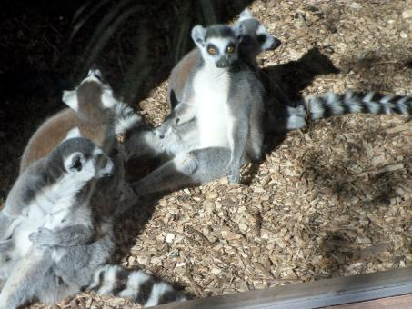 Free Stock Photo of Ring-tailed Lemurs