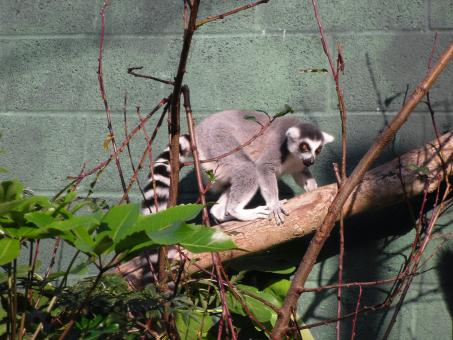 Free Stock Photo of Ring-tailed lemur