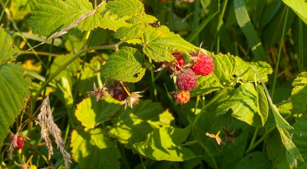 Free Stock Photo of Fruits of raspberry