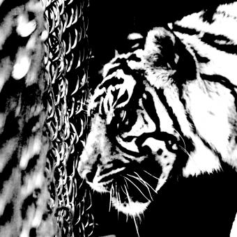 Free Stock Photo of Caged Tiger