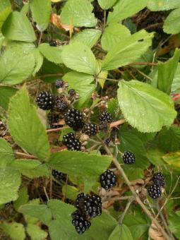 Free Stock Photo of Blackberries
