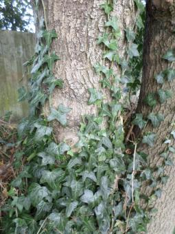 Free Stock Photo of Ivy climbing up tree