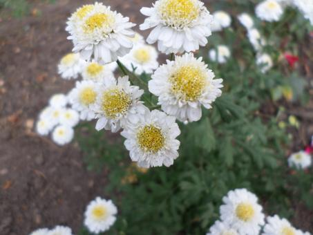 Free Stock Photo of White and yellow flowers