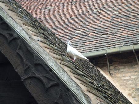 Free Stock Photo of White pigeon on roof