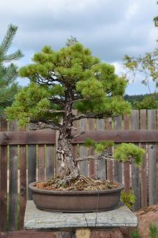 Free Stock Photo of Bonsai pine