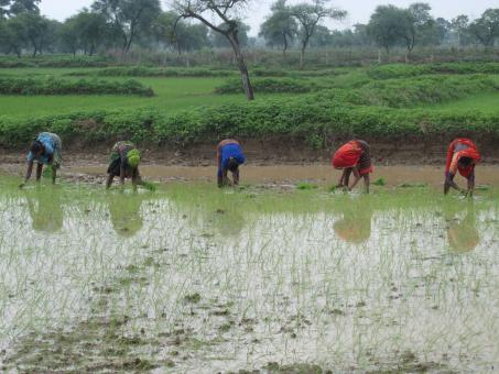Free Stock Photo of Indian women planting rice plants