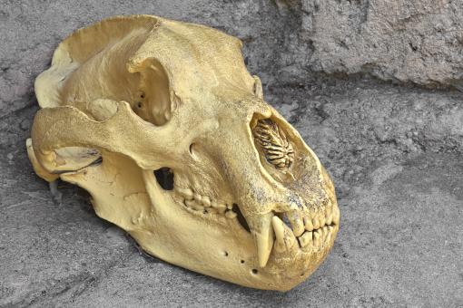Free Stock Photo of Bear Skull Close-up - HDR