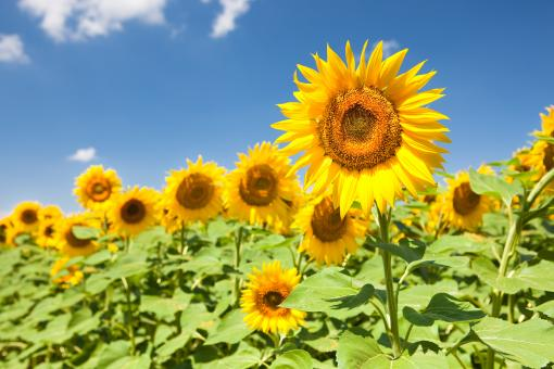 Free Stock Photo of sunflowers in the field