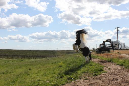Free Stock Photo of Gypsy vanner stallion