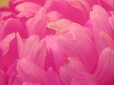 Free Stock Photo of Pink flower pedals