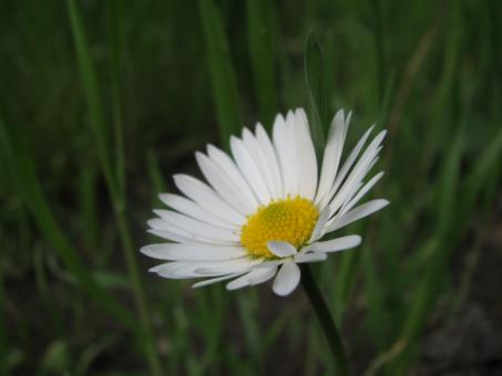 Free Stock Photo of Pretty white daisy flower