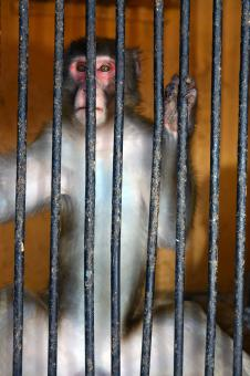 Free Stock Photo of Monkey behind bars