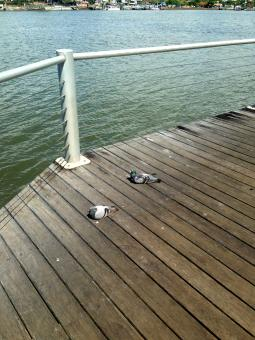 Free Stock Photo of Pigeons on wooden jetty
