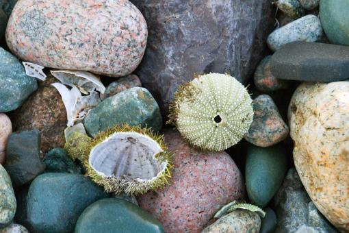 Free Stock Photo of Sea Urchin