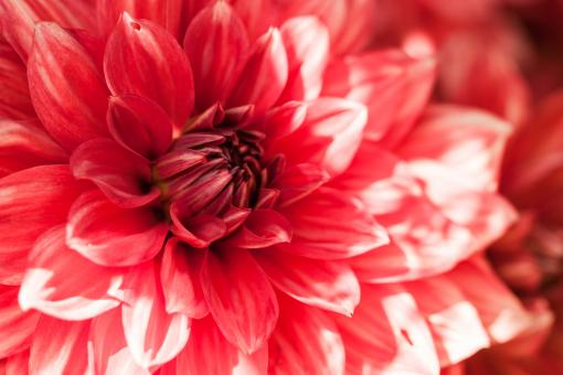 Free Stock Photo of Beautiful Red Flower