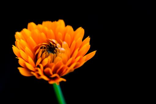 Free Stock Photo of Orange Flower on Black