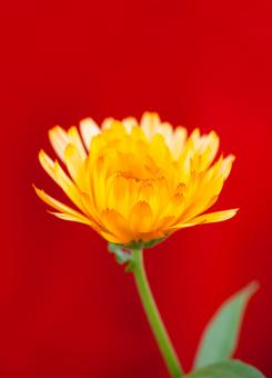 Free Stock Photo of Yellow flower on red background