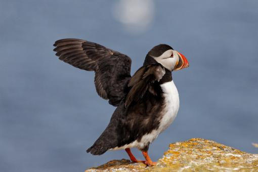 Free Stock Photo of Puffins
