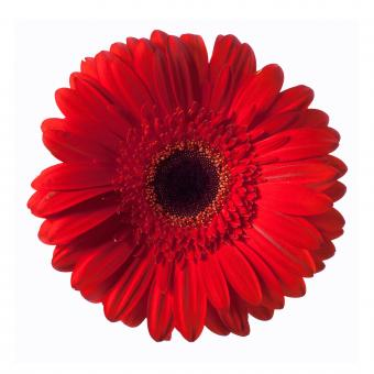 Free Stock Photo of Red Gerbera Flower