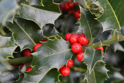 Free Stock Photo of Christmas holly