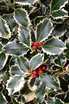 Free Stock Photo of Christmas holly variegated