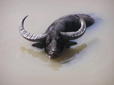 Free Stock Photo of Wild Buffalo enjoy bathing